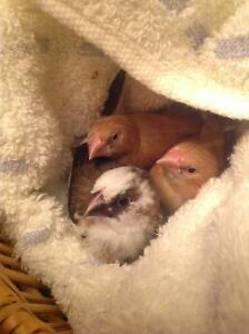 Rehoming three hand-fed Society Finches