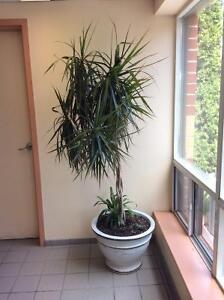 LARGE INDOOR PLANT and POT Kingston Kingston Area image 1
