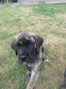 Daniff puppy for sale (Mastiff/ Dane cross)