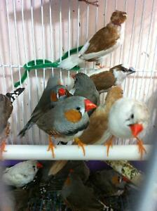 White and normal zebra, society finches