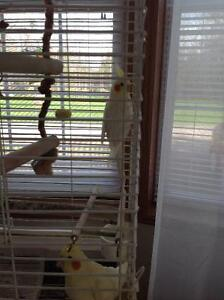 Cockatiel with large cage & accessories