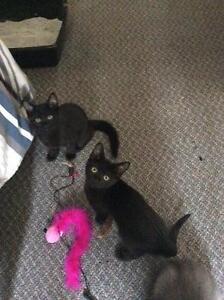2,3 month old kittens free to a good home