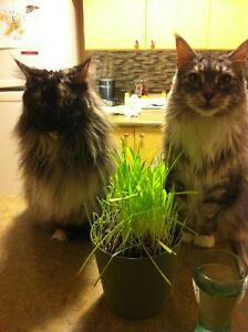 Two maine coon girls (age 7&8)