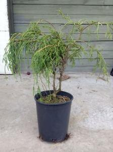 Sungold Cypress for Sale