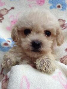 ADORABLE TOY MALTI -POO PUPPIES.....!!!!!