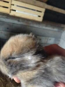 holland lop rabbit kits for reservation