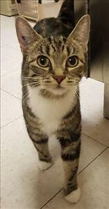 "Adult Female Cat - Domestic Short Hair: ""Beans"""