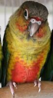 **Sale**  Baby Yellowside Green Cheek Conure *1 Available*
