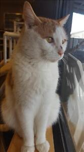 "Senior Male Cat - Domestic Short Hair: ""Ronan"""