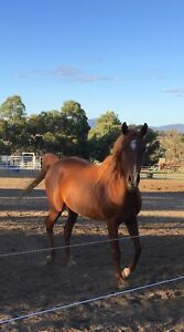 ARABIAN MARE FREE LEASE Kendenup Plantagenet Area Preview