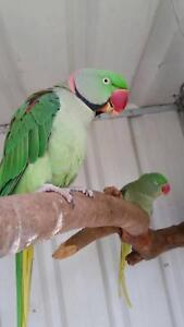 Breeding pair of alexandrines Warrawong Wollongong Area Preview