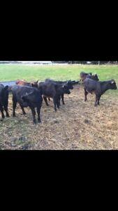 Angus x friesian heifers Miners Rest Ballarat City Preview