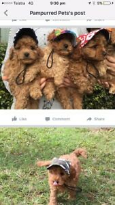 Cavoodle puppies -sunshine coast Woombye Maroochydore Area Preview
