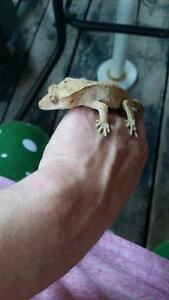 crested gecko for sale!