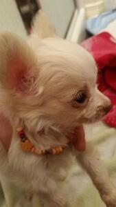 Magnifique Chiot chihuahua toy!!!!