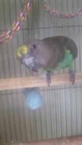 Myers parrot for sale