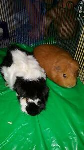 Two guinea pig and extras