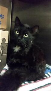 Adult Male  - Domestic Medium Hair-Domestic Medium Hair