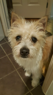 Wanted: Jack Russel x Shih-tzu inneed of foster care 1 month