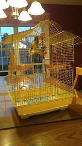 Canarie gloster corona canary