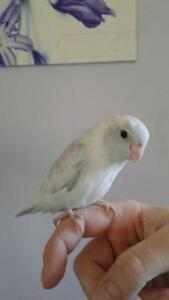 MALE AMERICAN WHITE PIED EDGE PARROTLET