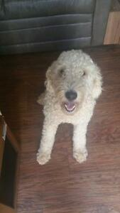 Breeding male goldendoodle