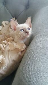 AB Modern Siamese Kittens for Sale (SH Balinese babies)