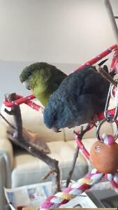 2 Lineolated parakeets with Large cage, toys and food.