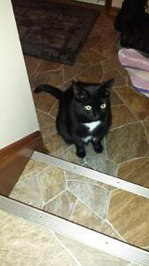 """Black with a white """"collar"""",fixed male cat"""