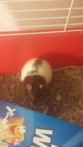 lots of pet rats looking for loving homes