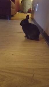 Free cute black dwarf bunny!! Only to good home of my choice.