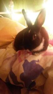 Lapin a donner / bunny to give away (litter trained)