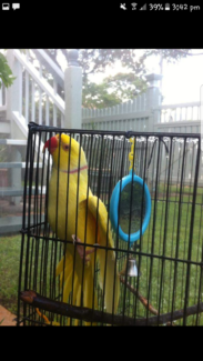 LOST INDIAN RINGNECK- NEWMARKET REGION BRISBANE QLD