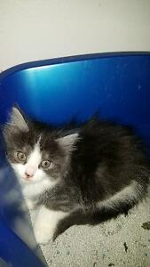 8p week old siberian/Persian kittens for good homes