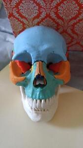 Crâne anatomique