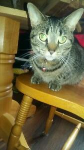 2 year old female tabby cat.
