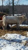 (Yearling) Charolais bull for sale