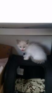 Ragdoll/ siamese kittens