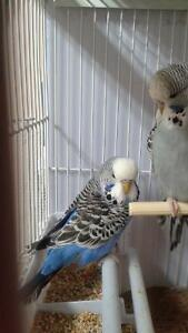 Adorable English budgie babies with brand new cage