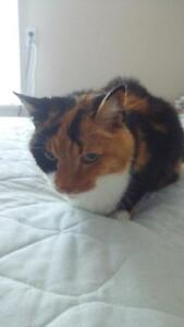Calico cat to give away Free