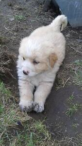 Adorable puppies for sale-great family dogs