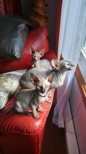 Belle petite chatte sphynx