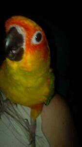 Sun Conure Baby, For Sale - Serious Buyers Only!!!!! Cambridge Kitchener Area image 2