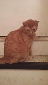 Neutered Male Orange Tabby Cat