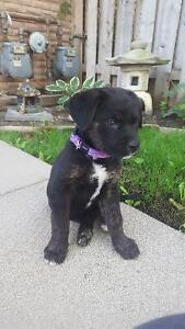 URGENT! If you have purchased a Sheppard mix puppy