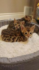 PURE BRED BEAUTIFUL BENGAL KITTENS FOR SALE!!