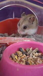 Hamster for adoption with cage and accessories