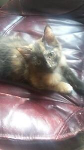2 11 week old kittens for sale
