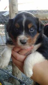 Purebred Mini Australian Shepherd Puppies
