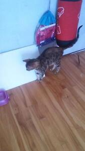 Chatte bengal negociable